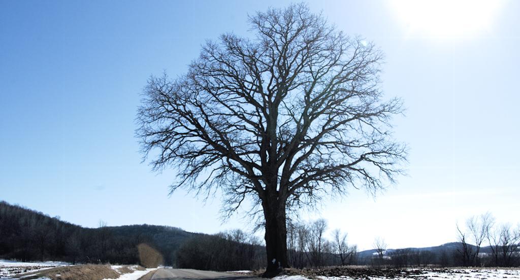 Oak tree on Riddle Road; Lodi, WI