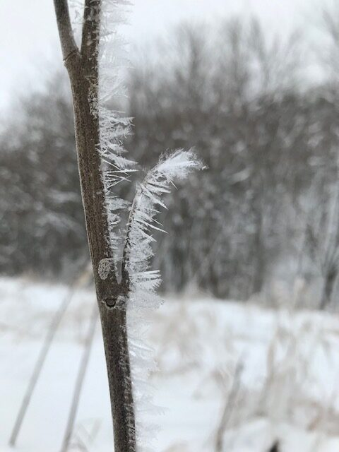 Frosted blackberry cane